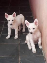 Filhotes de pastor suiço em caruaru