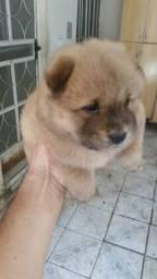 Filhote de cachorro chow chow