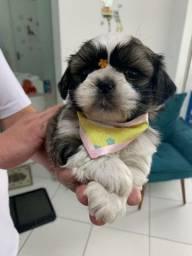 Linda fêmea de Shih Tzu filhote vacinada