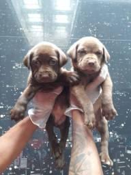 Labrador filhotes com benefícios, compre já!