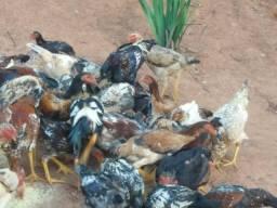 frangos caipiras  da pele amarelinha