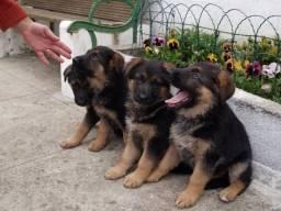 Filhotes de pastor ALEMÃO com pedigree garantias...