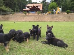 Título do anúncio: Filhotes de pastor alemão preto e capa preta