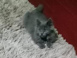Gato persa pet