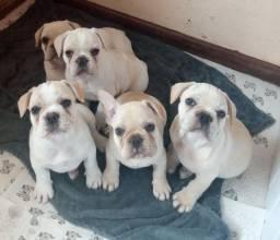 Lindinho Filhotes de bulldog francês