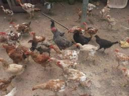Vendo galinhas e galos em paripe