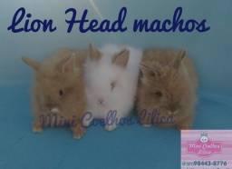 Título do anúncio: Coelho Lion Head