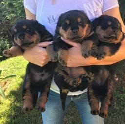 Belos filhotinhos de rottweiler alemão