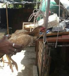 Vendo duas galinhas