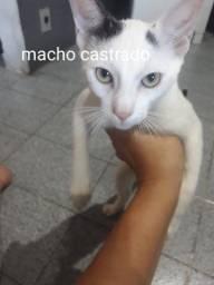 Gato castrado
