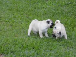 Filhotes De Pug Com GARANTIA