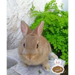 Filhote de mini coelho - Netherland