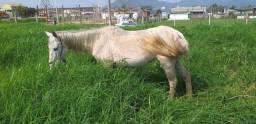 Uma égua de carroça de montaria égua tá grávida troca pelo um cavalo de marcha