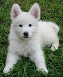Filhotinhos de cães da raça Pastor Branco Suíço, com garantia recibo e pedigree