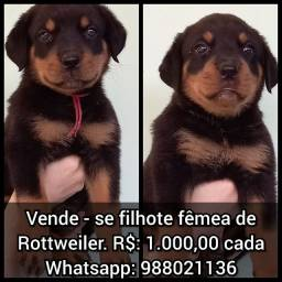 Vende-se filhote fêmea de Rottweiler