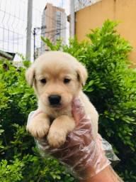 Labradores amarelo lindos filhotes a pronta entrega