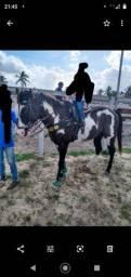Cavalo puro de direita