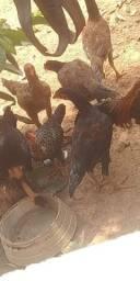 Vendo lote de frango caipira