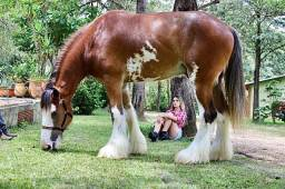 Cavalo Clydesdale + Trailer