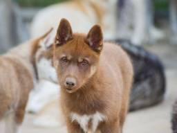 Quero fazer encomenda Husky Mostly Red Fêmea.