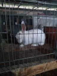 Lote de coelhos Barbada