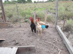 Galo é galinhas