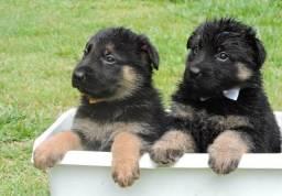 Cães filhotes Pastor Alemão fêmea.