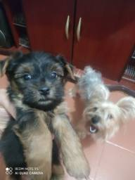 Yorkshire terrier mini MACHO