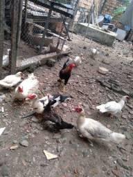 Patos Paysandu adultos machos