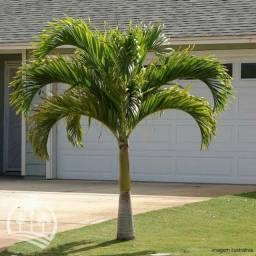 Mudas de palmeira  areca