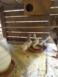 Vendo galinha Índia  com pintinho