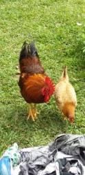 Galo e galinha ( Casal)