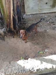 Femia dashund 11 meses