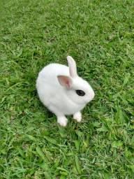 mini coelhos hotot