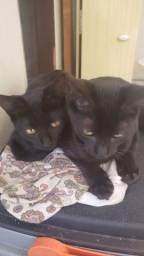 Gatos pretos. Uma femea e um macho. Doação responsável.