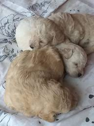 Vende-se Filhotes Poodle - 3 machos.