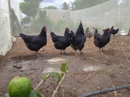Ovos galados gigante negro