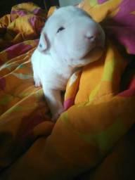 Bull Terrier 1500 Fêmea ,1300 Macho