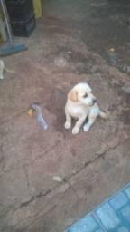 Labrador filhote puro