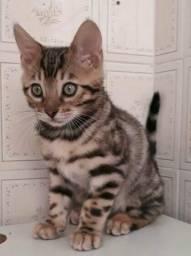 Gato Bengal - filhotes fotos reais