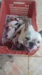 Lindos filhotes de Bulldog francês.