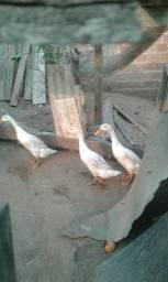 Duas fêmeas e um macho de mareco corredor indiano