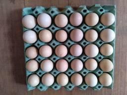 Ovos galados galinha Brhama