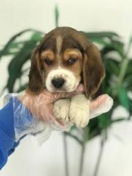 Beagle mini 13 polegadas!