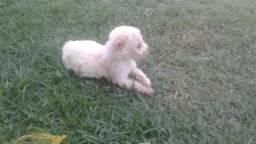 filhotes de pastor branco c poodle