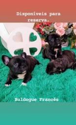 Filhotes Buldogue Francês