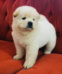 Chow chow com pedigree e microchip