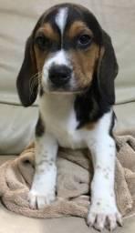 Brincalhões!!! Filhotes de Beagle a Pronta Entrega.
