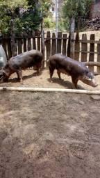 Porcos suínos