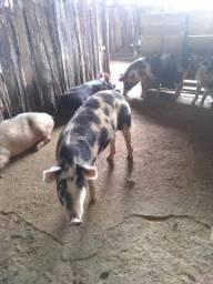 Carne de porco caipira